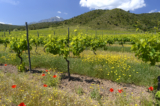 Les vignes fleurissent