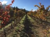 rangée vigne Vico en Automne